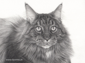 dierenportret Main Coon Mico jong